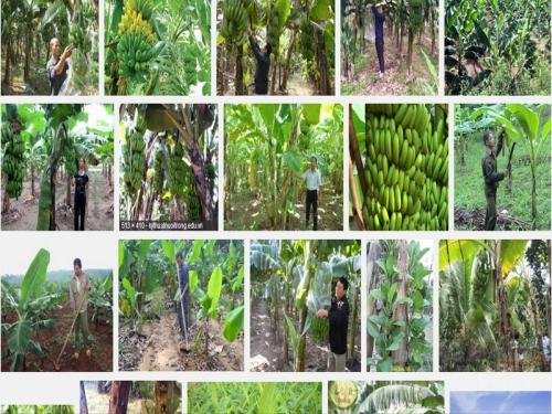 Hướng dẫn kỹ thuật trồng Chuối Tiêu hồng ngon, năng suất cao, 12, Mai Tâm, Nông Nghiệp Nhanh, 31/10/2016 15:06:15