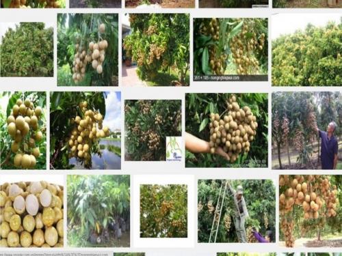 Nhãn là loại cây ăn trái khá dễ trồng, phù hợp với nhiều loại thổ nhưỡng