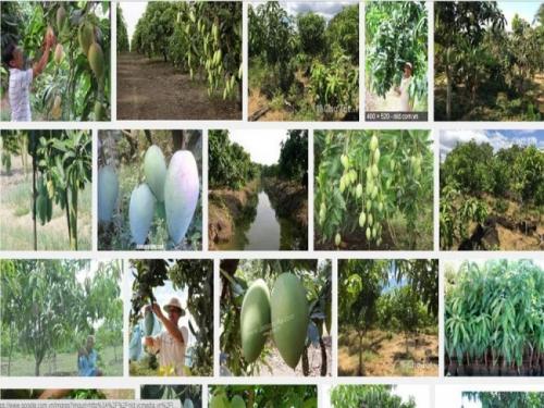 Giống xoài Đài Loan được xem là loại cây trồng khá mới, cây cho năng suất, hiệu quả cao với kỹ thuật trồng dễ
