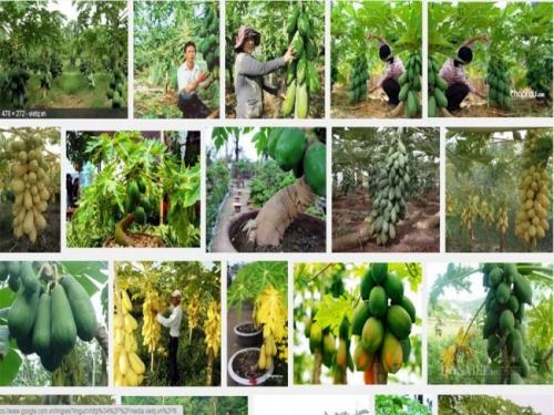 Trồng đu đủ nghiêng sẽ giúp nhà vườn dễ kiểm soát được sâu bệnh cho cây, đồng thời đu đủ còn cho quả sai hơn