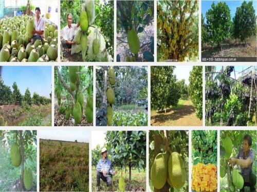 Cách trồng mít Thái không hạt siêu sớm đơn giản, 18, Mai Tâm, Nông Nghiệp Nhanh, 15/10/2016 11:59:42