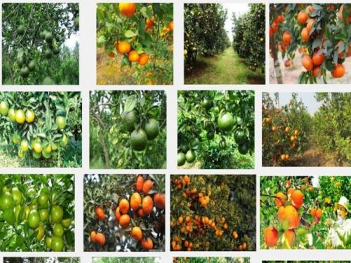 Kỹ thuật trồng cam quýt đúng cách, ít sâu bệnh, cho quả sai mọng nước