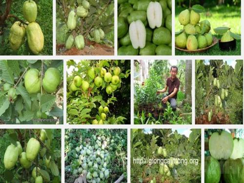 Kỹ thuật trồng Ổi không hạt hiệu quả, cho năng suất cao, 20, Mai Tâm, Nông Nghiệp Nhanh, 31/10/2016 15:05:02