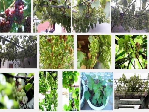 Để nho được trồng trên sân thượng tại nhà sai quả, cần ứng dụng đúng kỹ thuật trồng nho