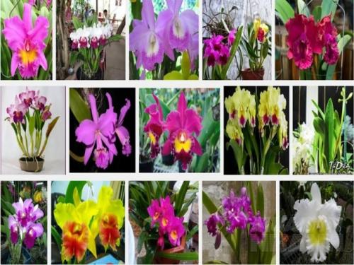 Những điều quan trọng cần lưu ý khi chăm sóc Cát lan thời kì ra hoa