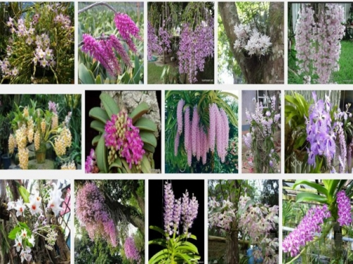 Hoa lan rừng khi mang về trồng ở nhà vì bị thay đổi khí hậu và môi trường sống nên rất khó chăm sóc.