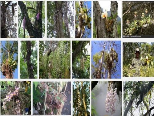 Lan rừng được khai thác từ thiên nhiên, cần phải có kỹ thuật chăm sóc tốt để