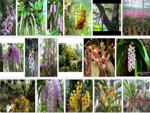 Theo kinh nghiệm dân gian, muốn cho lan sinh trưởng tốt môi trường thuận lợi nhất cho lan bám vào cây tươi nơi thoáng gió, ít ánh sáng chói