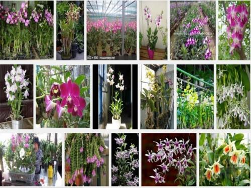 Dendrobium, Lan Hoàng Thảo, Đăng Lan là một loài lớn với chủng loại rất phong phú, lan có kỹ thuật khá dễ trồng và dễ chăm sóc