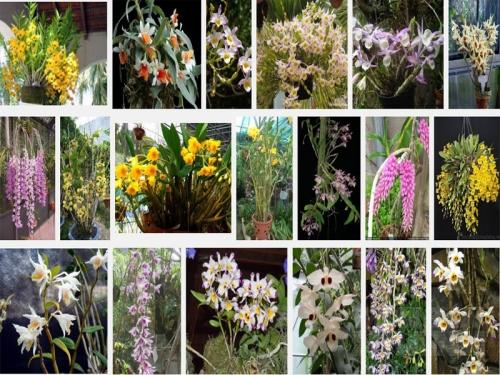 Kỹ thuật cơ bản trồng và chăm sóc lan Dendrobium - Hoàng Thảo, 33, Mai Tâm, Nông Nghiệp Nhanh, 15/10/2016 11:55:44