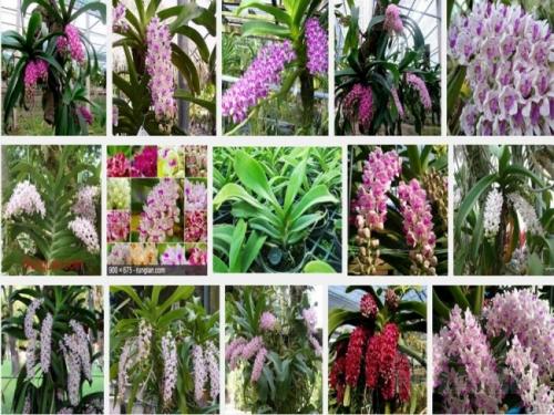 Bản chất sống gần gũi với thiên nhiên bám vào các giá thể thân cây lớn Ngọc Điểm sinh trưởng phát triển tốt tại các khu vực khí hậu nhiệt đới, nóng ẩm.