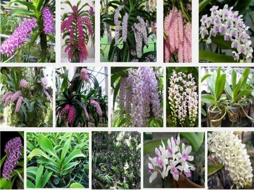 Kỹ thuật ươm trồng Ngọc điểm (Đai châu) rừng miền Bắc, miền Nam, 36, Mai Tâm, Nông Nghiệp Nhanh, 15/10/2016 11:55:09