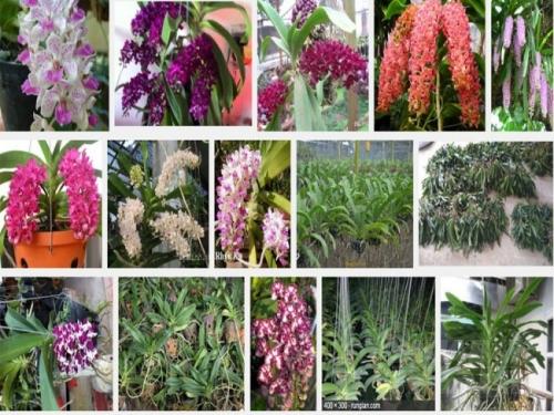 Cây lan Ngọc Điểm là cây lan rừng tên khoa học là Rhynchostylis gigantea (Lindl) thuộc họ phong lan Orchidaceae , nó thường ra hoa vào dịp tết.