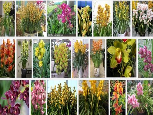 Kỹ thuật trồng và chăm sóc hoa địa lan châu Á, 38, Mai Tâm, Nông Nghiệp Nhanh, 15/10/2016 11:54:52
