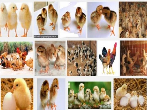 Phương pháp chọn giống gà con