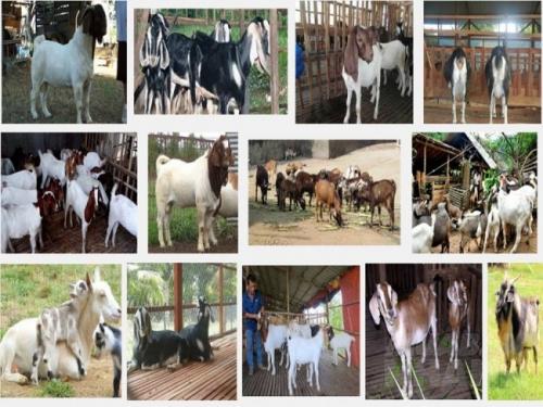 Để chăn nuôi dê hiệu quả, chọn dê giống là một ký thuật vô cùng quan trọng