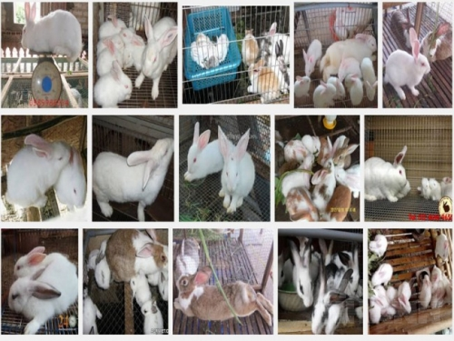 Để nuôi thỏ đạt năng suất tốt thì việc chọn con đực, cái giống và chăm sóc thỏ sinh sản là rất quan trọng