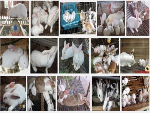 Cách lựa chọn thỏ giống tốt, 51, Mai Tâm, Nông Nghiệp Nhanh, 17/10/2016 16:24:58