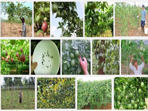 Kỹ thuật trồng Chanh Dây Đài Loan, 67, Mai Tâm, Nông Nghiệp Nhanh, 31/10/2016 11:29:18
