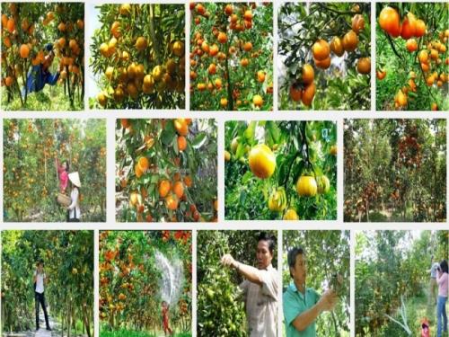 Chia sẻ kỹ thuật trồng cây quýt Thái