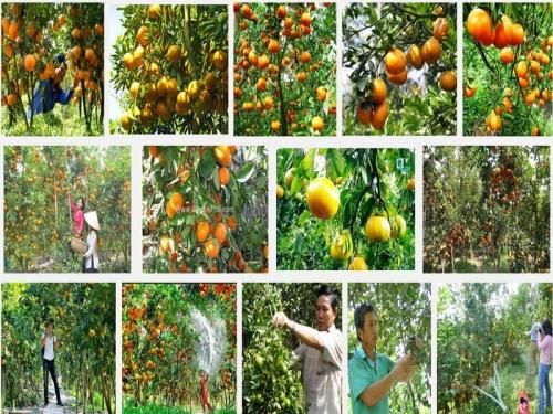 Chia sẻ kỹ thuật trồng cây Quýt Thái, 69, Mai Tâm, Nông Nghiệp Nhanh, 31/10/2016 11:28:16