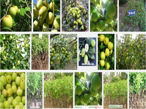 Kỹ thuật trồng Táo, giống Táo chua Gia Lộc, 70, Mai Tâm, Nông Nghiệp Nhanh, 31/10/2016 11:31:31