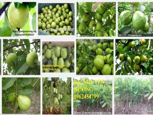 Hướng dẫn kỹ thuật trồng ổi tứ quý (Đông Dư, ổi găng), 72, Mai Tâm, Nông Nghiệp Nhanh, 19/10/2016 11:28:17