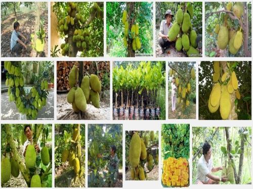 Hướng dẫn kỹ thuật trồng giống Mít Nghệ cao sản, 74, Mai Tâm, Nông Nghiệp Nhanh, 19/10/2016 14:11:46