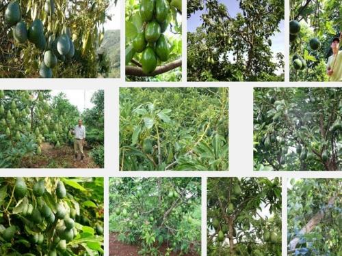 Kỹ thuật trồng và cách chăm sóc cho cây Bơ ra quả sai, trĩu cành, 75, Mai Tâm, Nông Nghiệp Nhanh, 27/10/2017 18:02:28