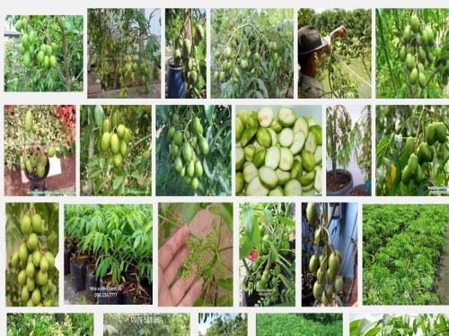Kỹ thuật trồng và chăm sóc cây Cóc Thái, 78, Mai Tâm, Nông Nghiệp Nhanh, 31/10/2016 11:27:12