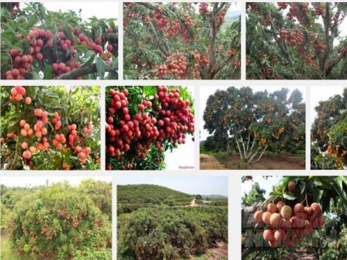 Vải thiều là cây ăn quả quý, quả chín ăn thơm ngon bổ dưỡng, cho giá trị kinh tế cao.