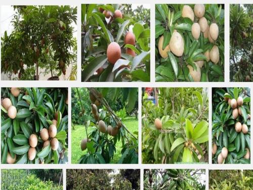 Kỹ thuật trồng cây Hồng Xiêm chiết cành nhanh ra quả, 80, Mai Tâm, Nông Nghiệp Nhanh, 30/06/2020 09:21:42