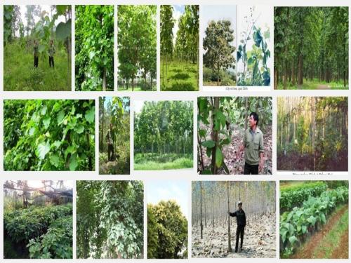 Hướng dẫn kỹ thuật trồng cây gỗ Tếch, 81, Mai Tâm, Nông Nghiệp Nhanh, 21/10/2016 09:17:34