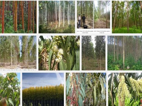 Kỹ thuật trồng cây Bạch đàn, 82, Mai Tâm, Nông Nghiệp Nhanh, 21/10/2016 09:55:31