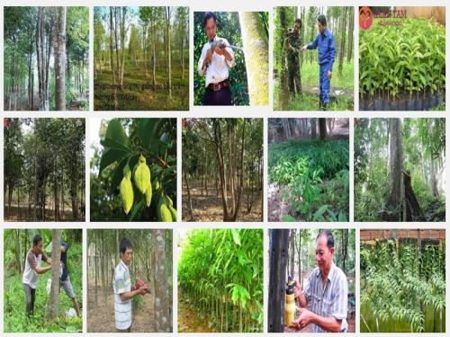 Kỹ thuật trồng và cấy tạo trầm hương, 83, Mai Tâm, Nông Nghiệp Nhanh, 21/10/2016 10:38:54