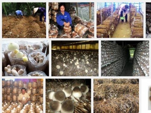 Hướng dẫn kỹ thuật trồng cây nấm rơm