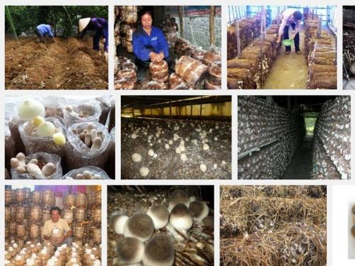 Hướng dẫn kỹ thuật trồng cây nấm Rơm, 84, Mai Tâm, Nông Nghiệp Nhanh, 25/10/2016 12:04:01