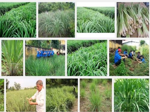 Kỹ thuật trồng và chăm sóc cây Sả, 86, Mai Tâm, Nông Nghiệp Nhanh, 29/08/2019 20:33:46