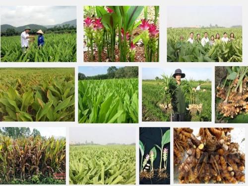 Kỹ thuật trồng cây Nghệ, 88, Mai Tâm, Nông Nghiệp Nhanh, 25/10/2016 12:02:28