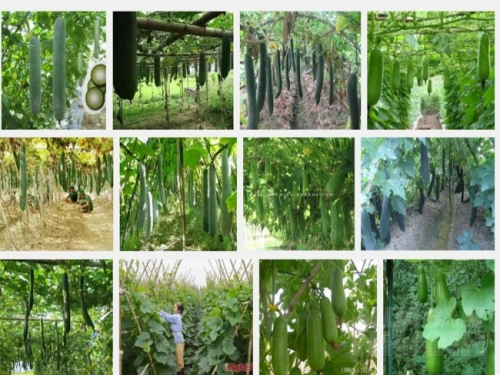 Kỹ thuật trồng bí đao xanh