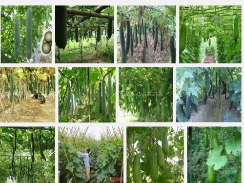 Kỹ thuật trồng bí Đao xanh, 92, Mai Tâm, Nông Nghiệp Nhanh, 25/10/2016 11:58:35