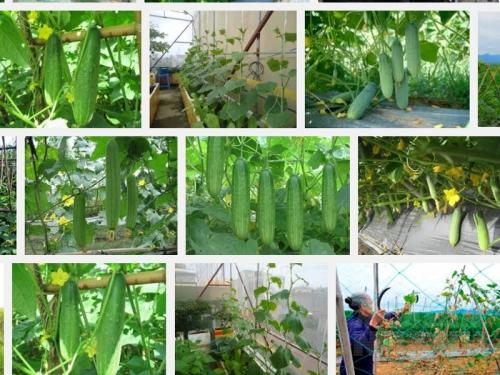 Hướng dẫn kỹ thuật trồng cây Dưa Leo, 93, Mai Tâm, Nông Nghiệp Nhanh, 25/10/2016 12:04:48