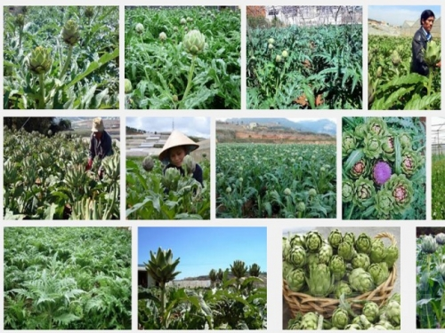 Kỹ thuật trồng cây atisô cho năng suất cao