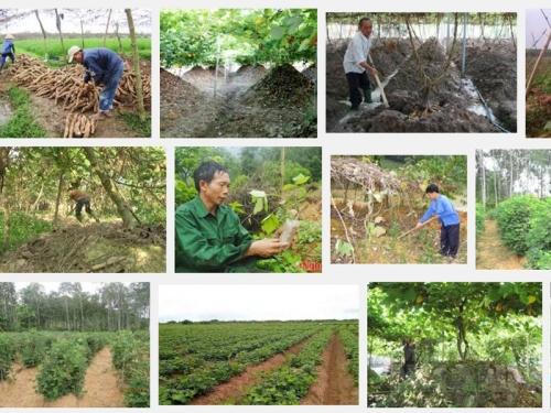 Kỹ thuật trồng và chăm sóc cây Sắn Dây cho năng suất tốt, 95, Mai Tâm, Nông Nghiệp Nhanh, 28/10/2016 15:19:41