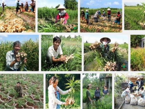 Kỹ thuật trồng cây Gừng