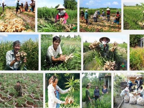 Kỹ thuật trồng cây Gừng, 96, Mai Tâm, Nông Nghiệp Nhanh, 25/10/2016 13:44:55