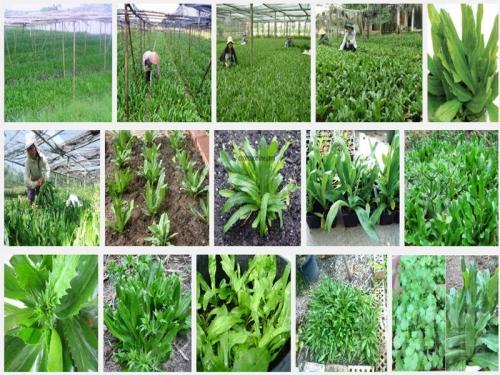 Kỹ thuật trồng cây Ngò Gai, 98, Mai Tâm, Nông Nghiệp Nhanh, 25/10/2016 14:36:13