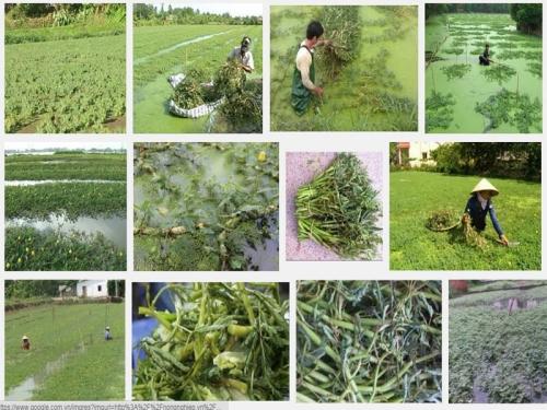 Kỹ thuật trồng và chăm sóc cây rau Nhút, 99, Mai Tâm, Nông Nghiệp Nhanh, 25/10/2016 15:04:41