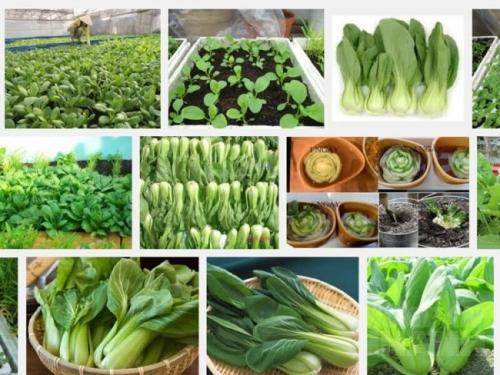 Hướng dẫn kỹ thuật trồng cây cải Thìa