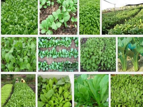 Kỹ thuật trồng Cải Ngọt ít sâu bệnh, 101, Mai Tâm, Nông Nghiệp Nhanh, 31/10/2016 11:05:14